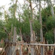Pohon Kelor Afrika Berbagai Ukuran
