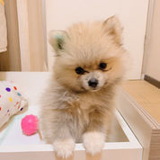 Puppy Minipom Betina