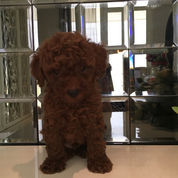 SUPER RED TOY POODLE STAMBUM