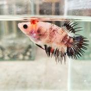 Ikan Cupang Serit Crowntail Langka