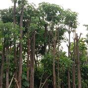 Pohon Pule Tunggal