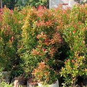 Pohon Pucuk Merah Berbagai Ukuran