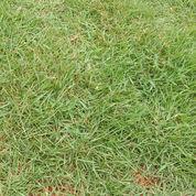 Rumput Peking Berbagai Ukuran