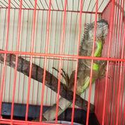Iguana Red Mix Panjang -+85cm (22571239) di Kota Jakarta Selatan