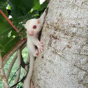 Sugar Glider Albino Baby