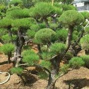 Pohon Bonsay Cemara