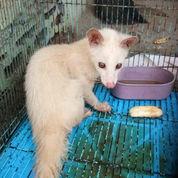 Musang Pandan Albino Sepasang