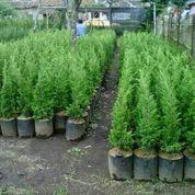 Pohon Cemara Lilin/Cemara Natal