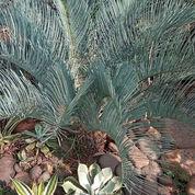 Pohon Palem Sikas Biru