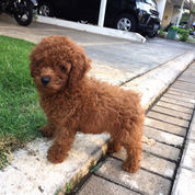 Red Toy Poodle Murah
