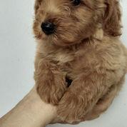 4 Ekor Tiny Poodle