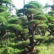 jual pohon cemara udang.dll (2269152) di Kota Tangerang
