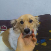 Small Greek Domestic Dog