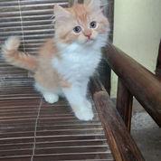 Kitten Jantan 2.5 Bulan (22710731) di Cibinong