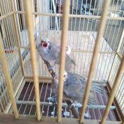 Cucak Rowo Paud (22750483) di Kab. Semarang