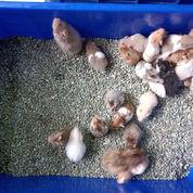 Hamster Syrian All Variant