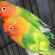 Lovebird Green Series (22905059) di Kota Jakarta Timur