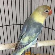 Lovebird Parblue Pied (22905155) di Kota Jakarta Timur