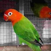 Lovebird Biola Green (22905359) di Kota Jakarta Timur