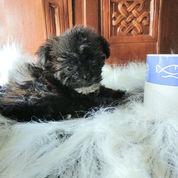 Shihpoo Puppies Super Mini