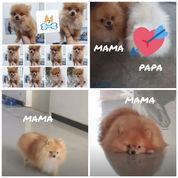 Anjing Super Mini Pom Bulu Tebal Pesek