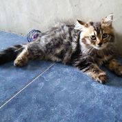 Ready Adopsi Anak Kucing/Kitten Gembul Persia Medium Betina
