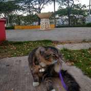 Kucing Anggora Jantan (23154111) di Kota Jakarta Timur