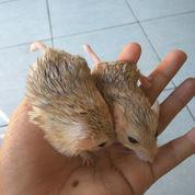 Hamster Gerbil Fat Tail