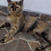 Kucing Anggora Betina Jinak Dan Lucu (23229855) di Kota Jakarta Timur