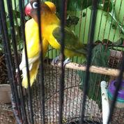 Lovebird Pasangan (23265927) di Kota Makassar