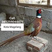 Ayam Ring Neck Pheasant & Telurnya (23369423) di Kota Magelang