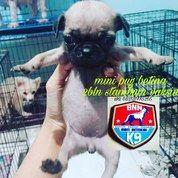 Mini Pug Betina