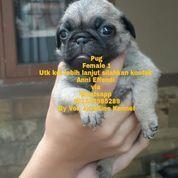 Anjing Ras Pug Female