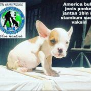 America Bully Jenis Pocket Jantan