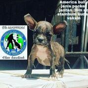 America Bully Jenis Pocket Jantan 1