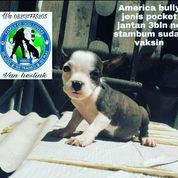 America Bully Jenis Pocket Betina