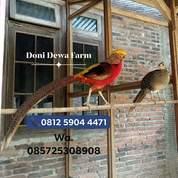 Ayam/Burung Golden Pheasant Remaja (23554831) di Kota Magelang