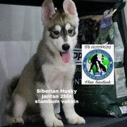 Siberian Husky Jantan C