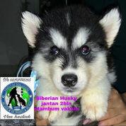 Siberian Husky Jantan B