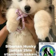 Siberian Husky Jantan A