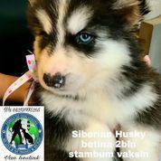 Siberian Husky Betina A