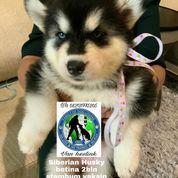 Siberian Husky Betina B