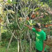 Kamboja Bali Murah