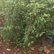 Pohon Teh Tehan
