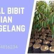 Bibit Durian Musangking Karanggede Boyolali