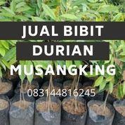 Bibit Durian Musangking Kemusu Boyolali