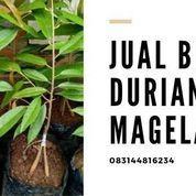 Bibit Durian Musangking Klego Boyolali