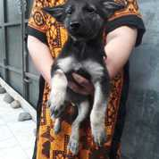 Puppy German Shepperd/Herder