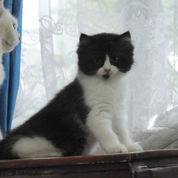 Kitten Kitten Perkawinan Anggora Dan Persia (23654087) di Kab. Bogor