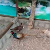 Ayam Ringneck Green Pheasant Indukan Spsng